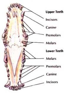 adult dog teeth lose